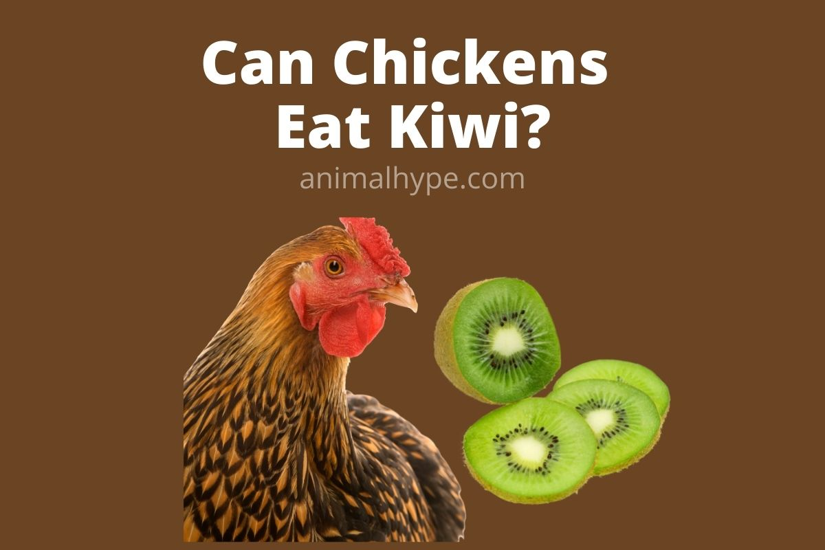 Can Chickens Eat Kiwi