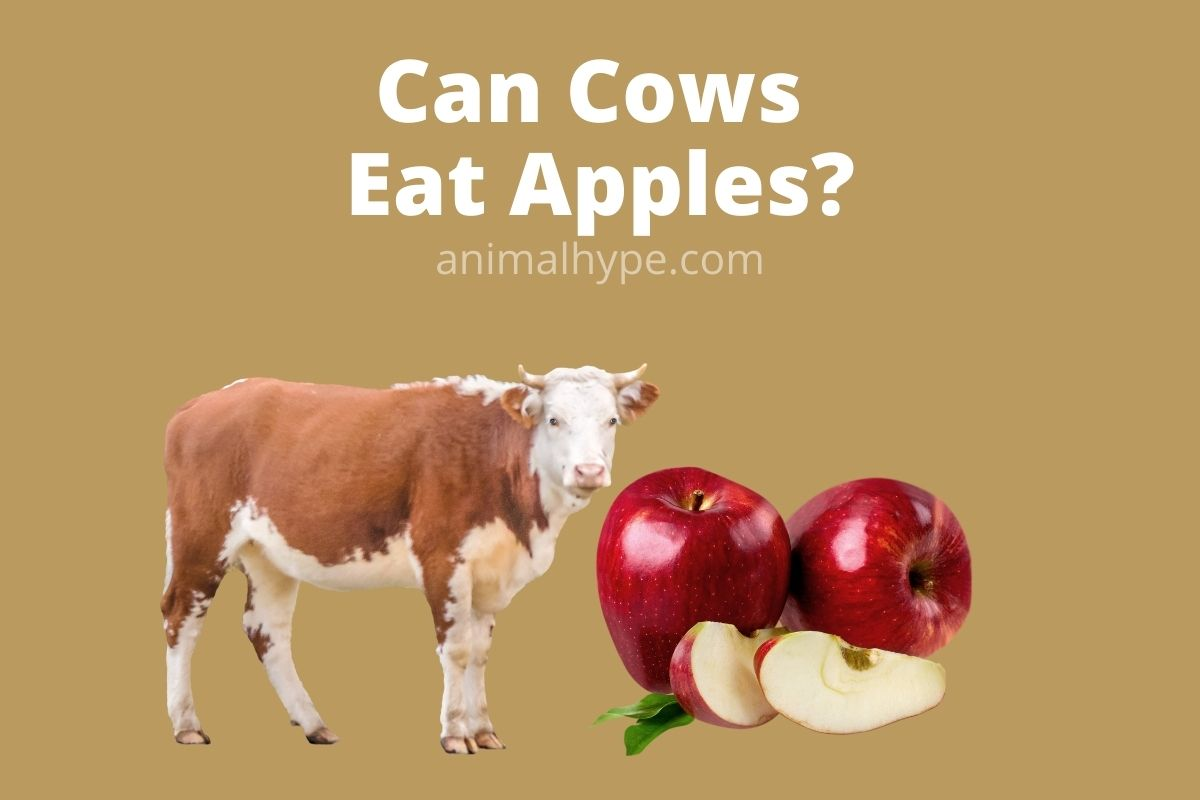 Can Cows Eat Apples