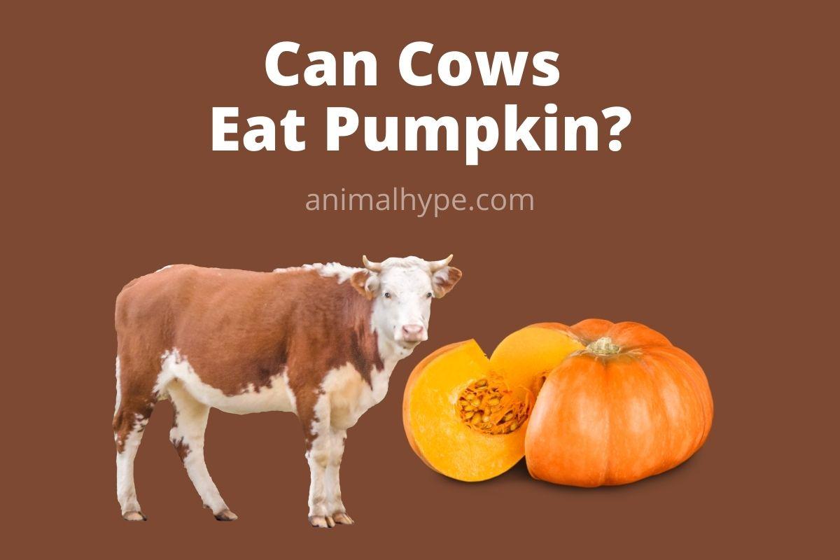 Can Cows Eat Pumpkin