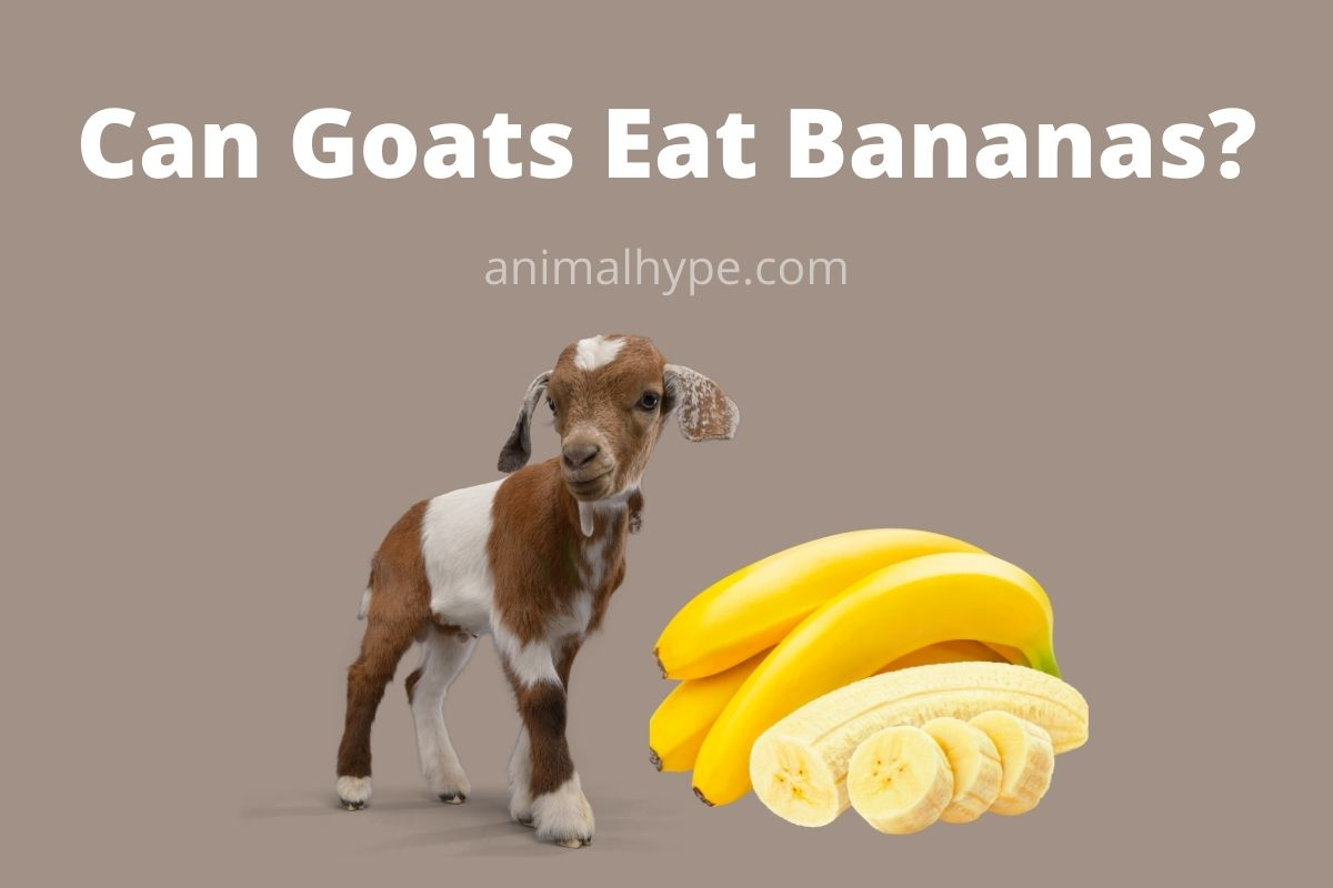 Can Goats Eat Bananas