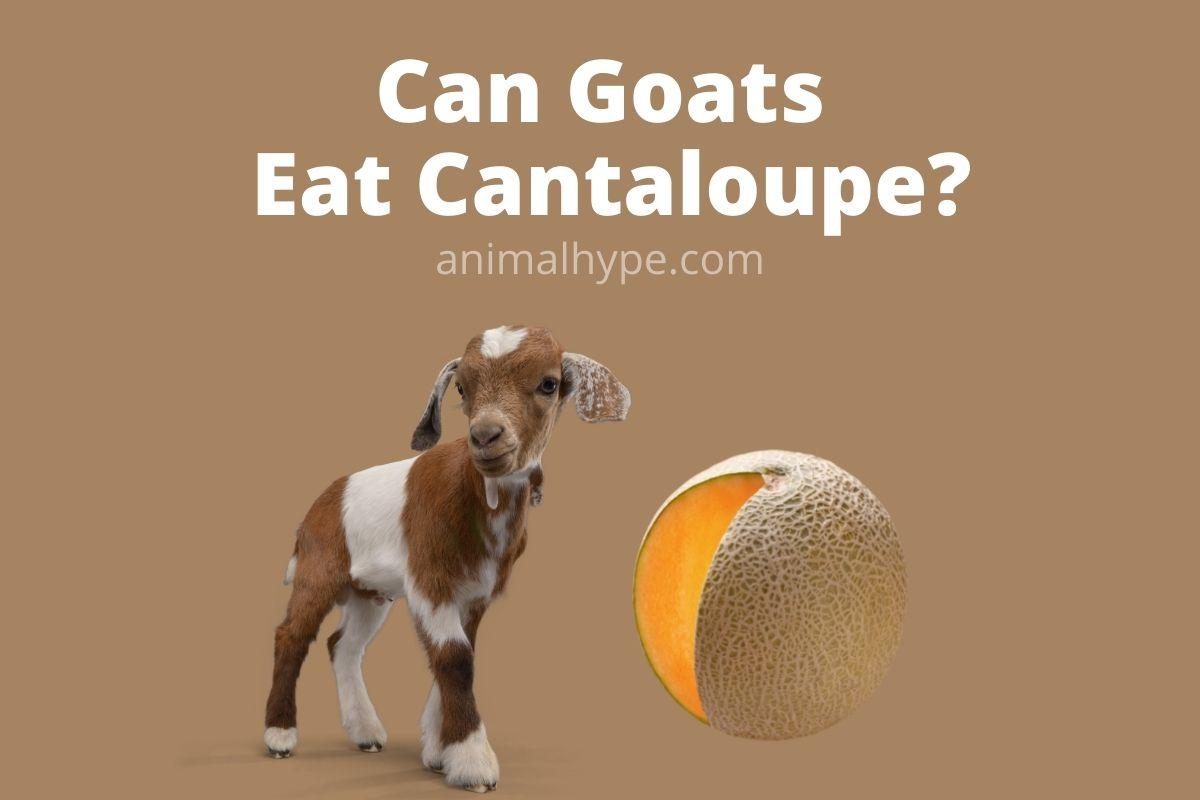 Can Goats Eat Cantaloupe