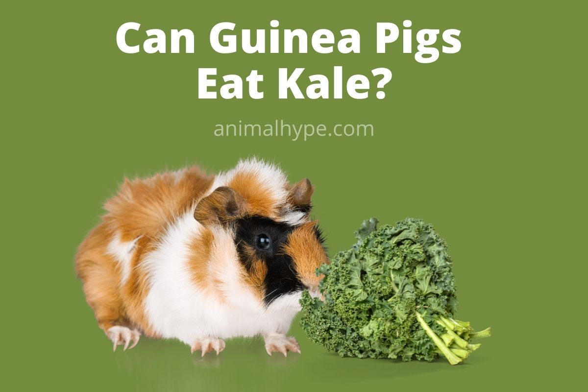 Can Guinea Pigs Eat Kale