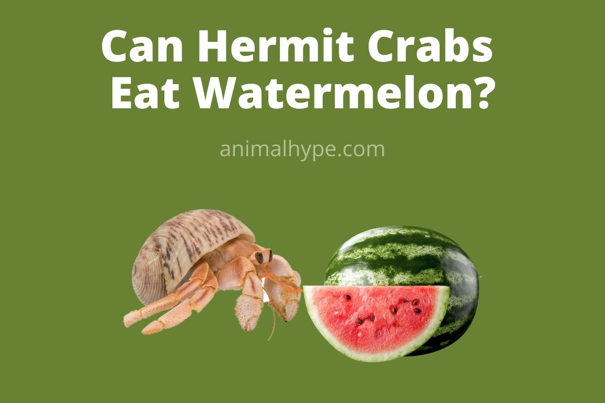 Can Hermit Crabs Eat Watermelon