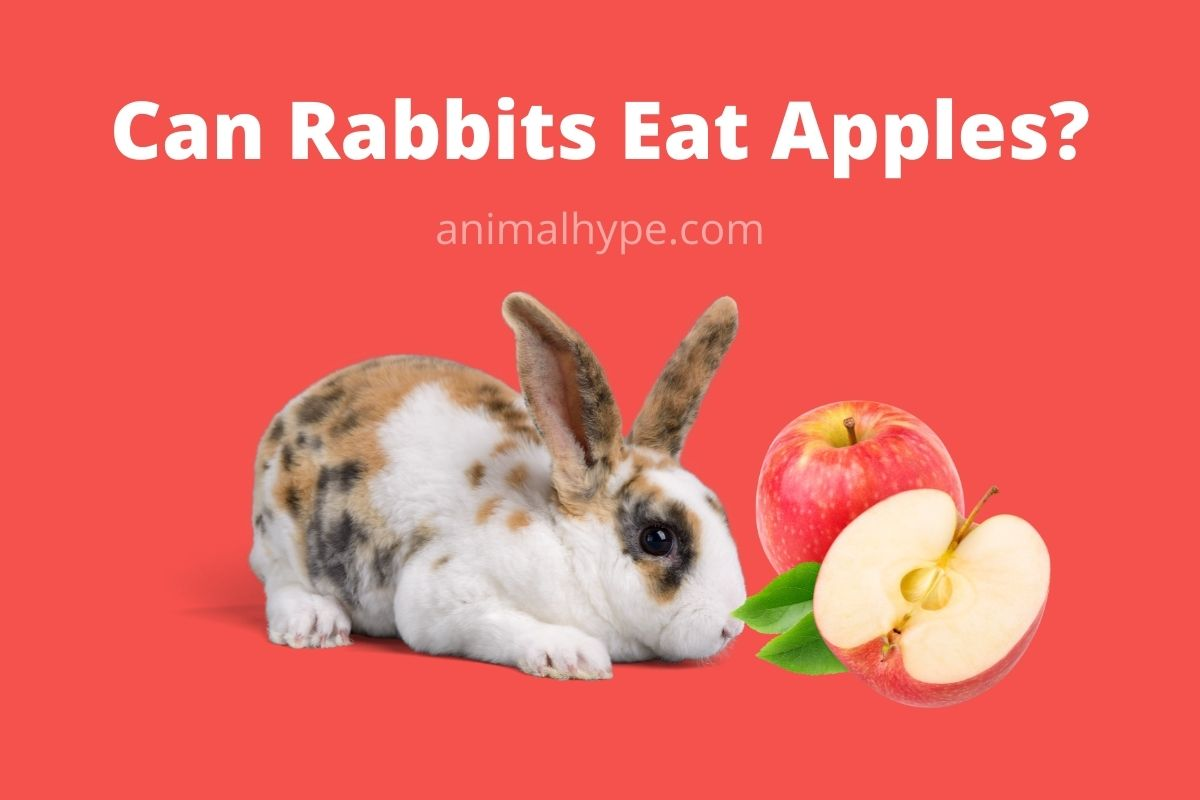 Can Rabbits Eat Apples