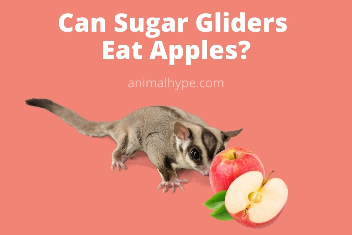 Can Sugar Gliders Eat Apples