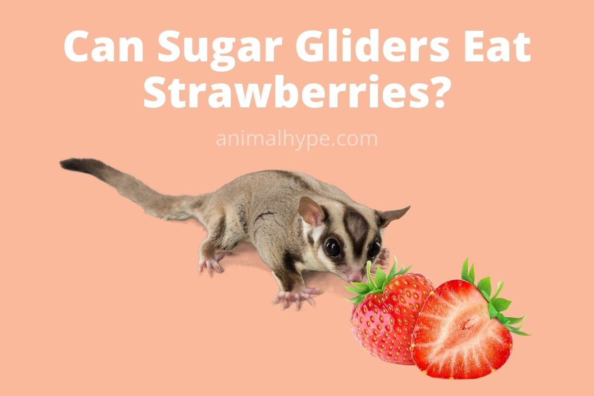 Can Sugar Gliders Eat Strawberries