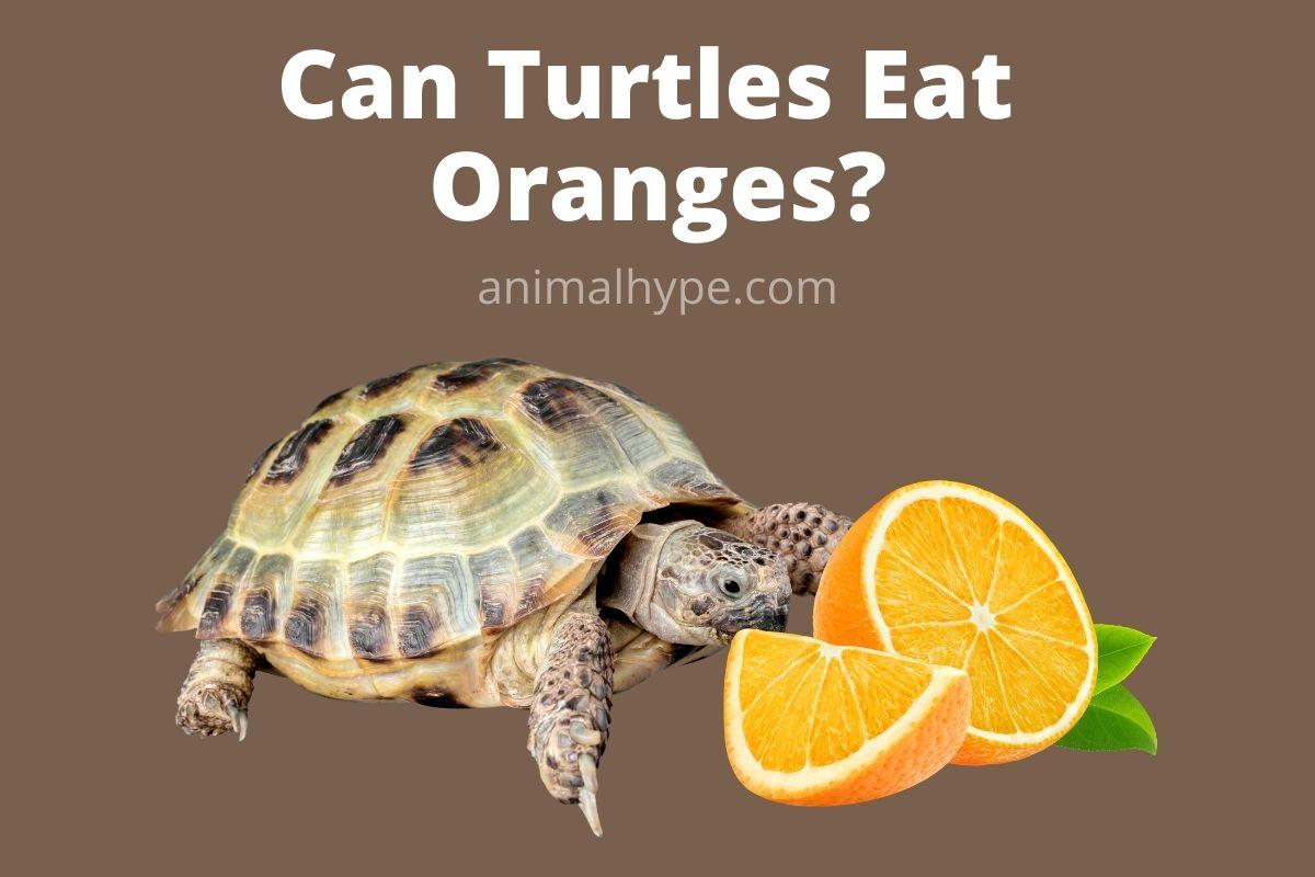 Can Turtles Eat Oranges