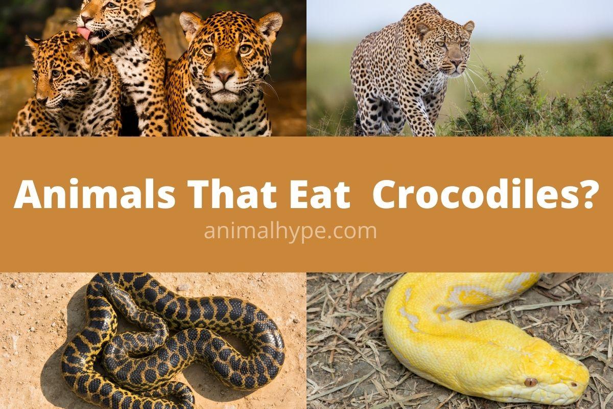 Animals That Eat Crocodiles