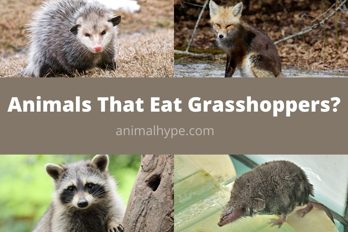 Animals That Eat Grasshoppers