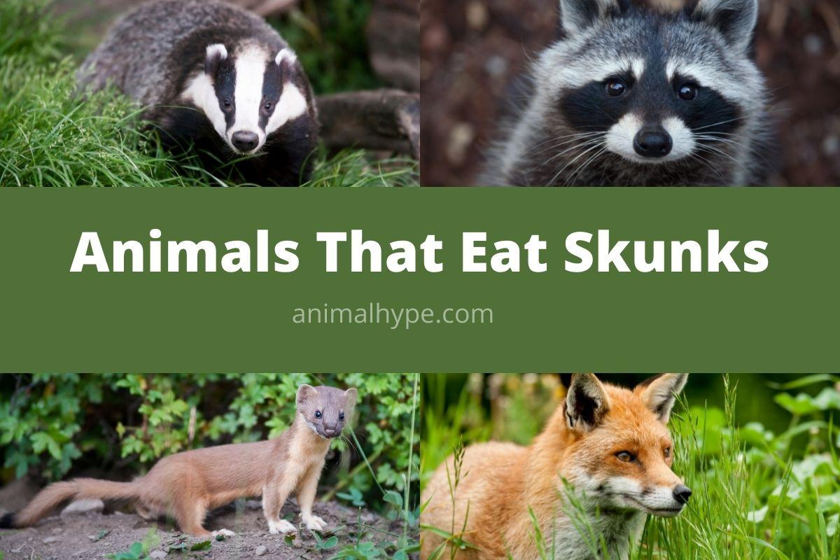 Animals That Eat Skunks