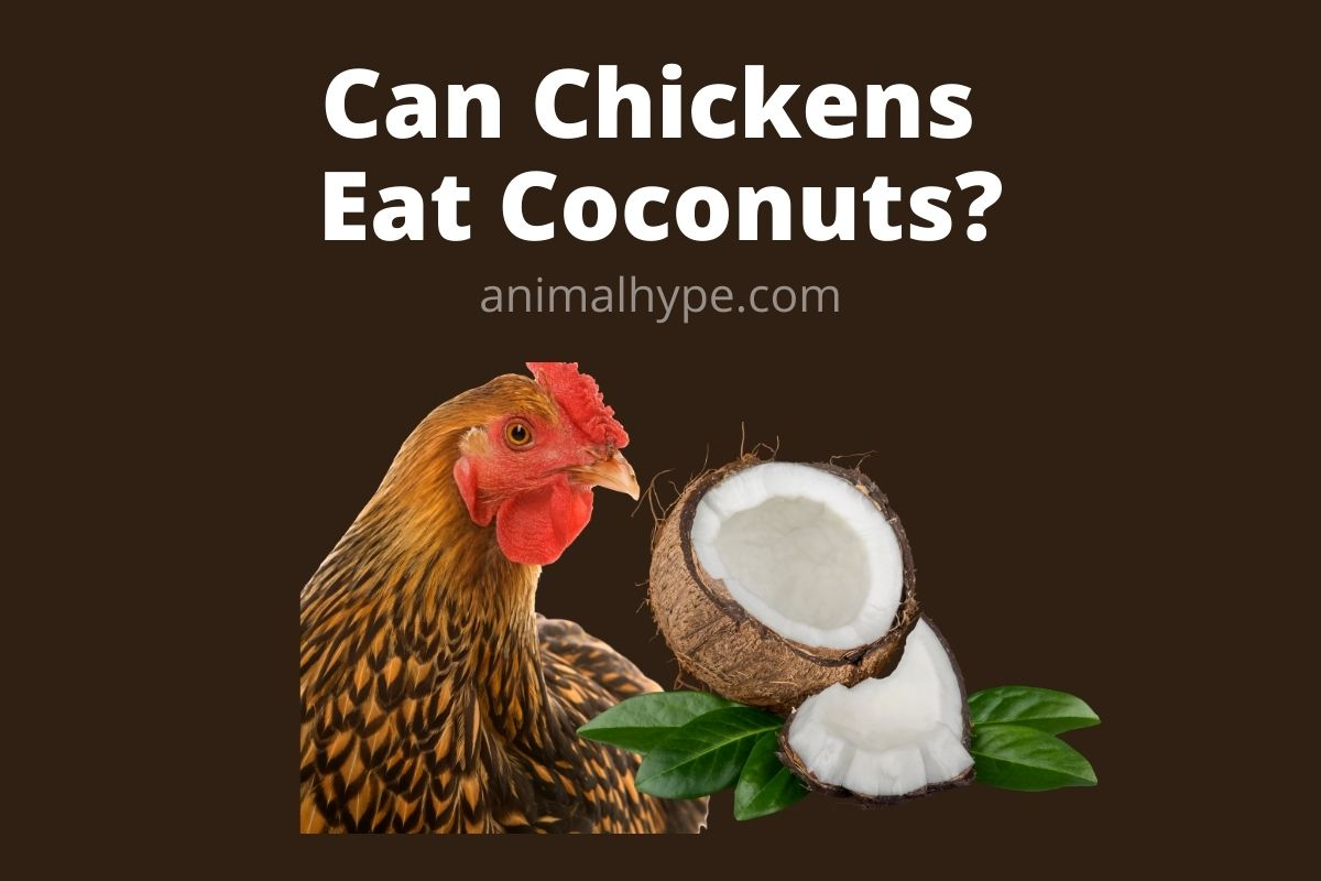Can Chickens Eat Coconuts