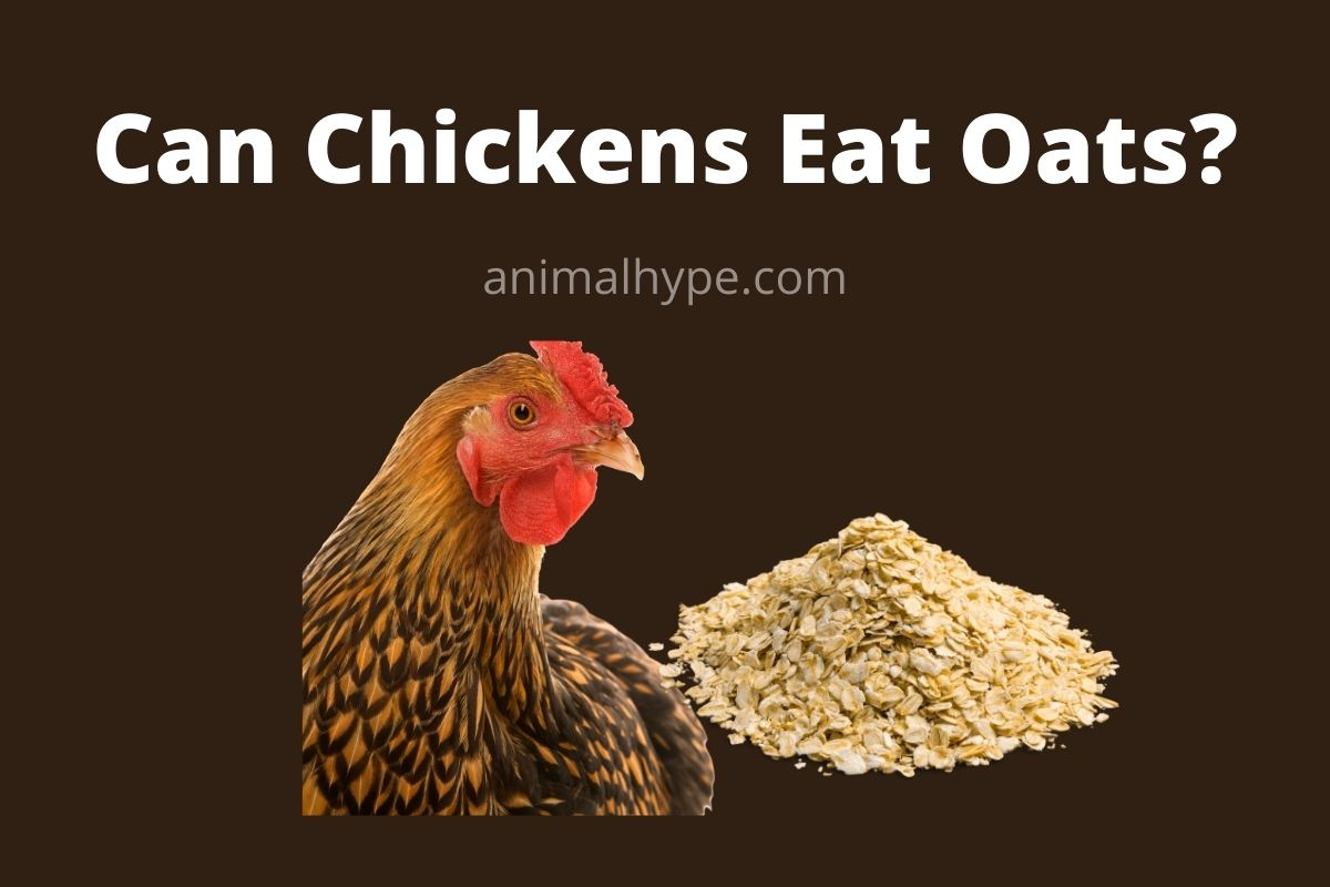 Can Chickens Eat Oats