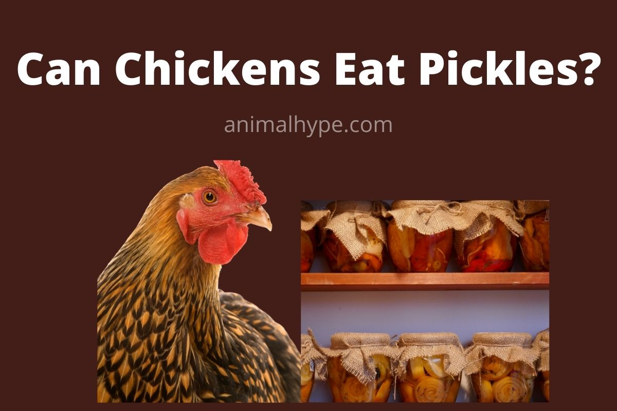 Can Chickens Eat Pickles