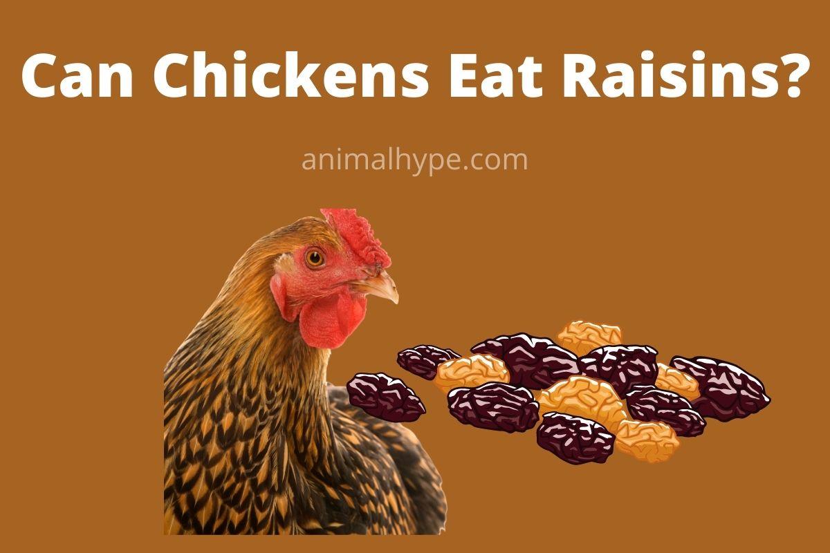 Can Chickens Eat Raisins