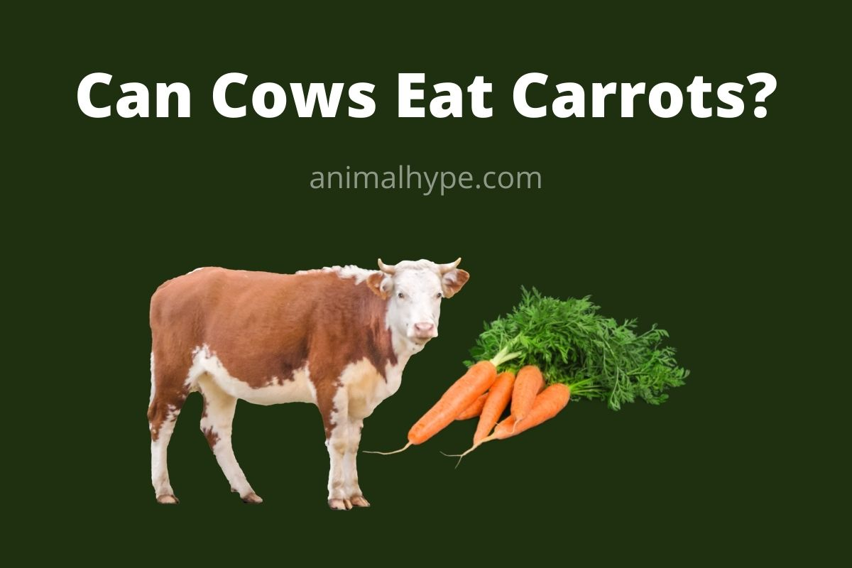 Can Cows Eat Carrots
