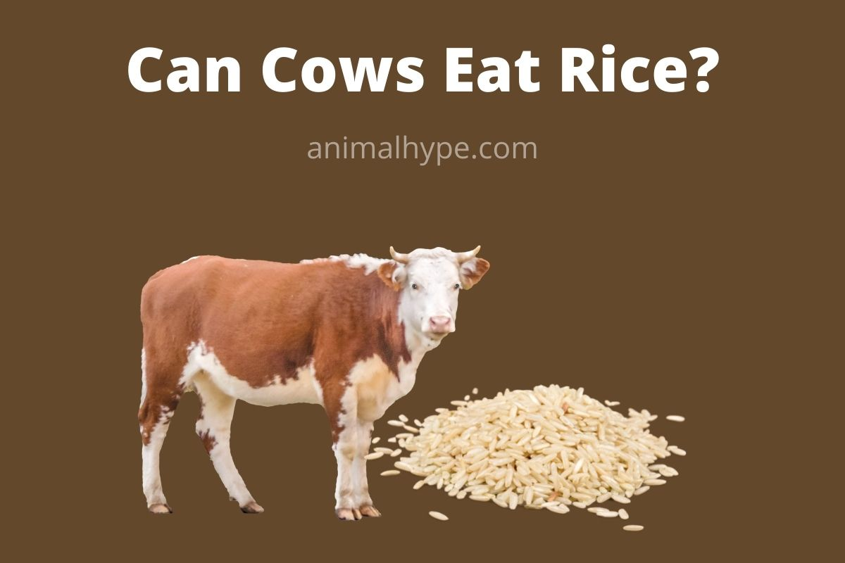 Can Cows Eat Rice
