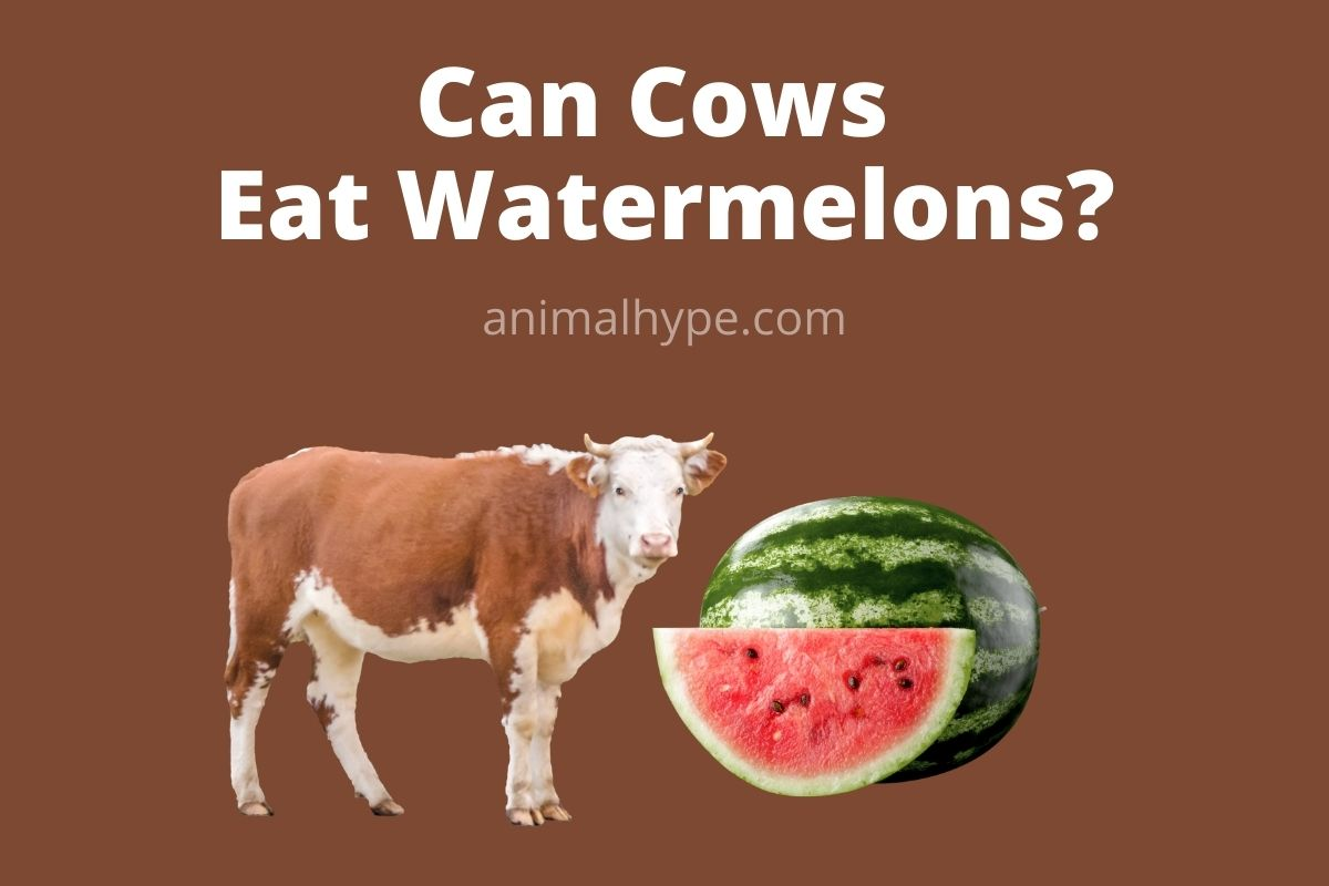 Can Cows Eat Watermelons
