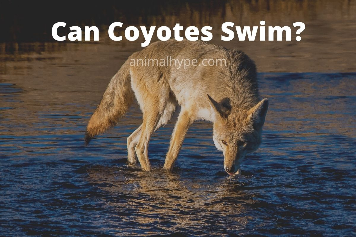 Can Coyotes Swim