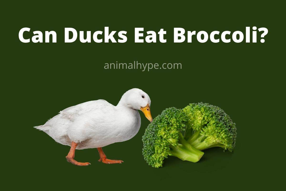 Can Ducks Eat Broccoli
