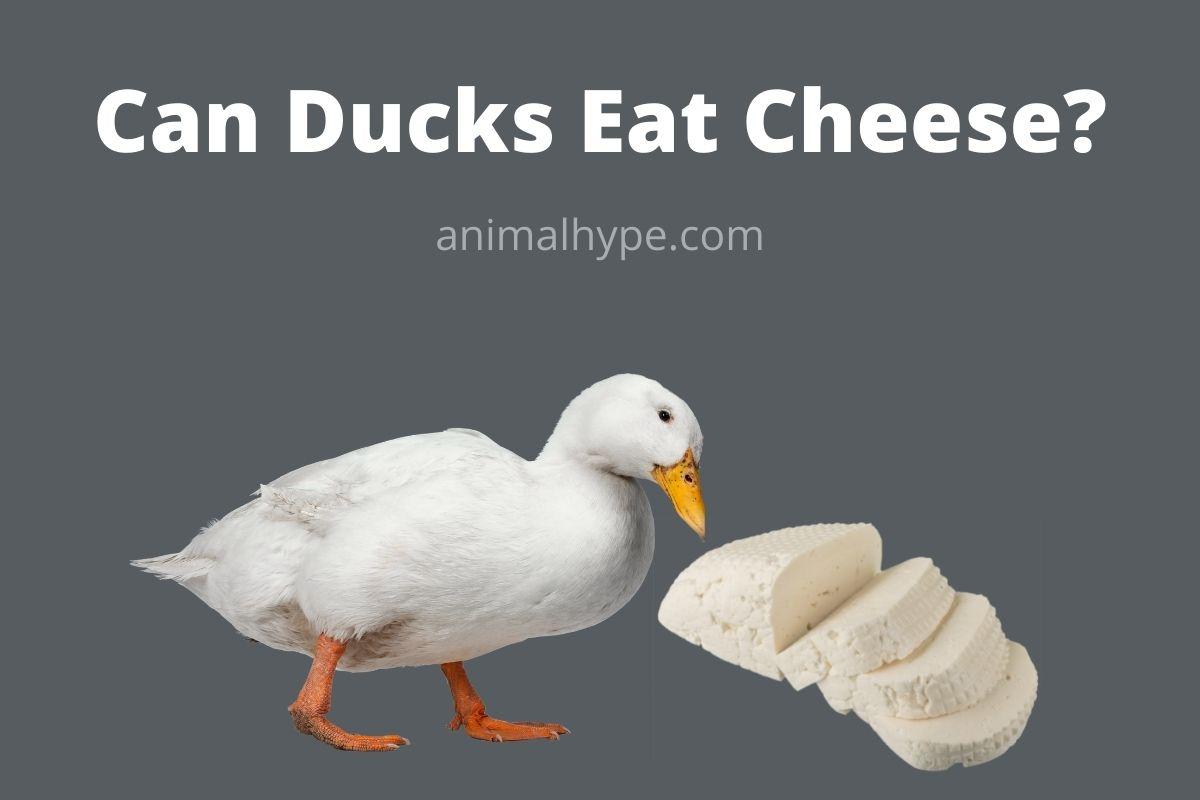 Can Ducks Eat Cheese