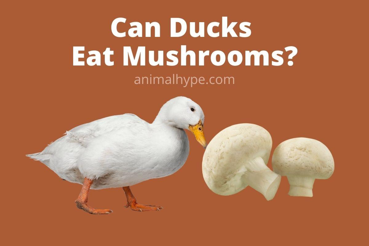 Can Ducks Eat Mushrooms