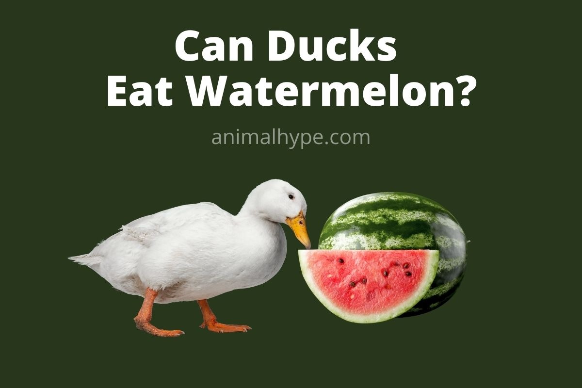 Can Ducks Eat Watermelon
