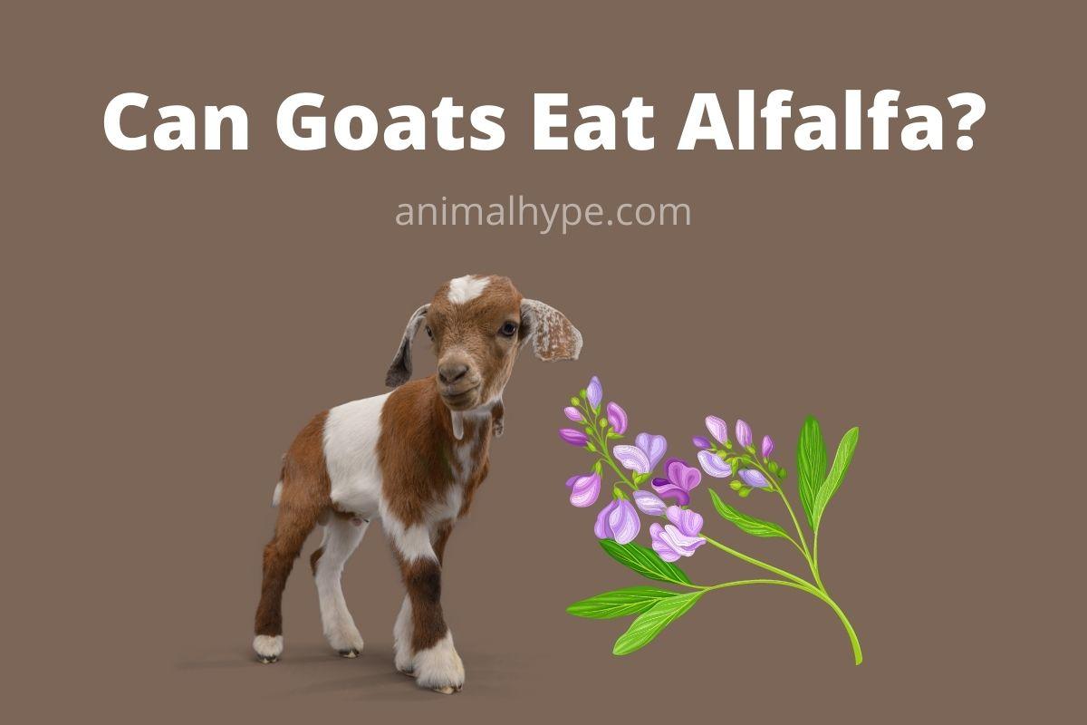 Can Goats Eat Alfalfa