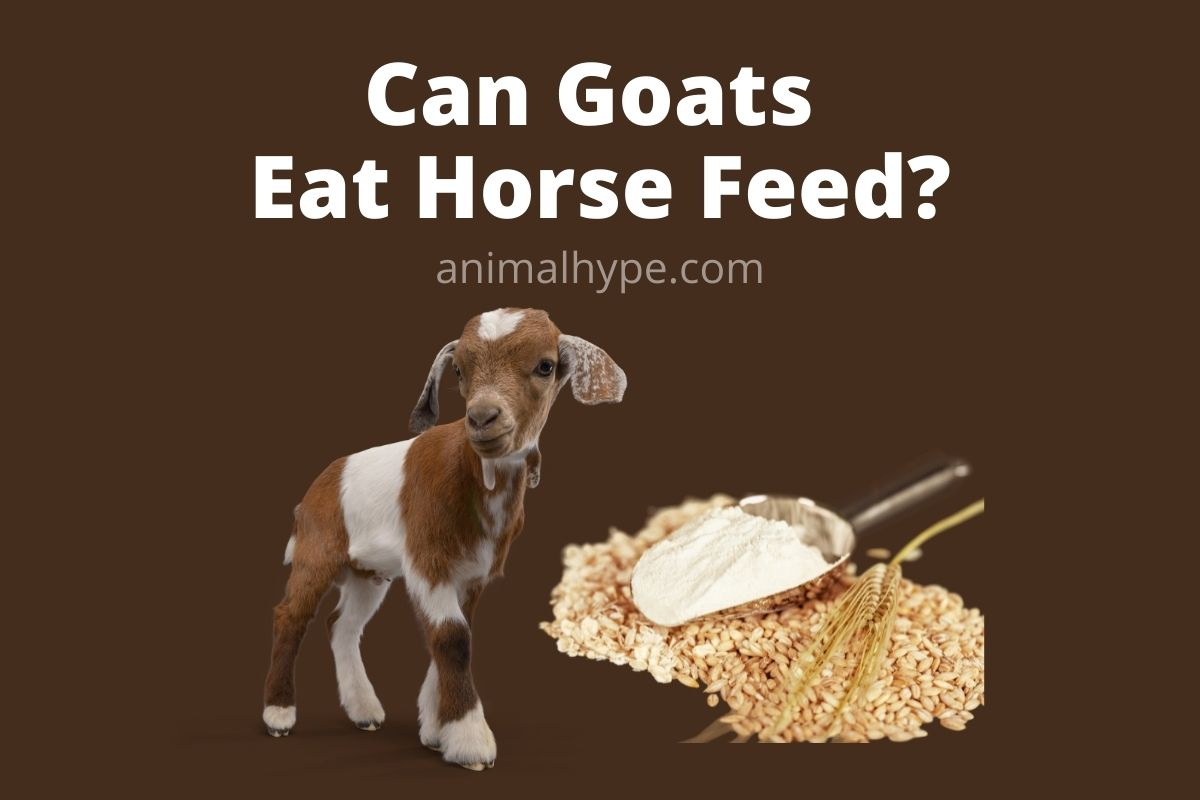 Can Goats Eat Horse Feed