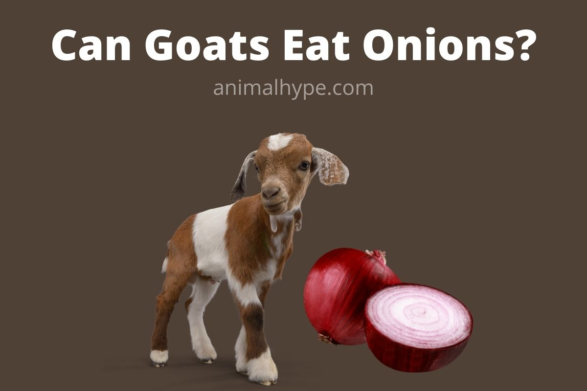 Can Goats Eat Onions