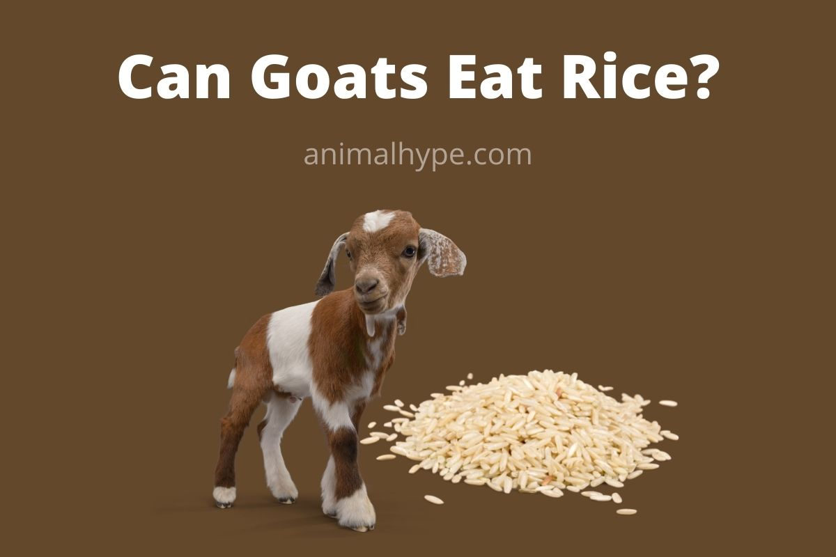 Can Goats Eat Rice
