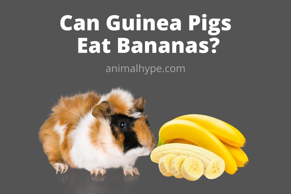 Can Guinea Pigs Eat Bananas