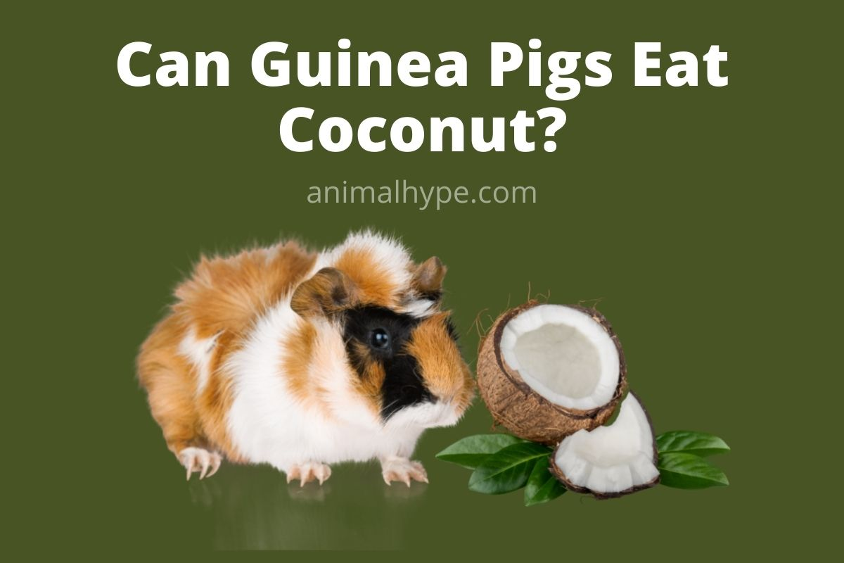 Can Guinea Pigs Eat Coconut