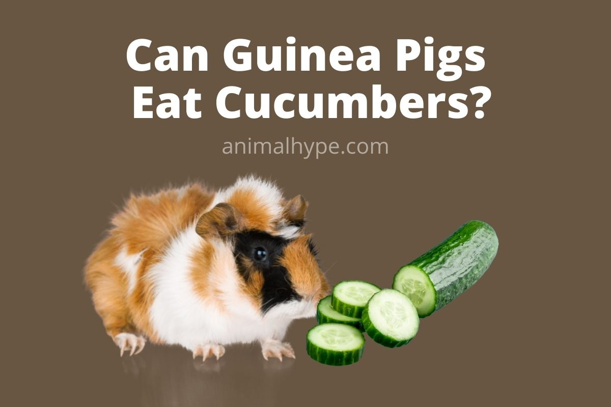 Can Guinea Pigs Eat Cucumbers