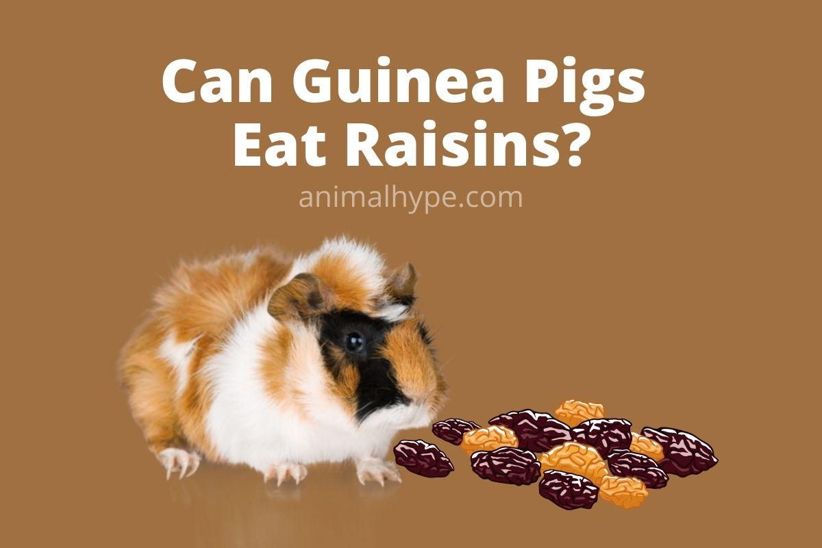 Can Guinea Pigs Eat Raisins