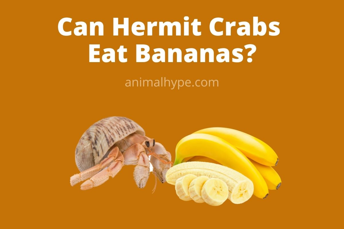 Can Hermit Crabs Eat Bananas