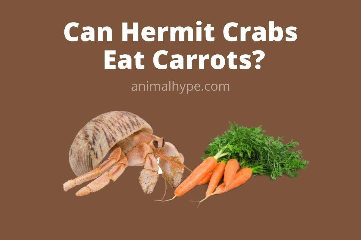 Can Hermit Crabs Eat Carrots