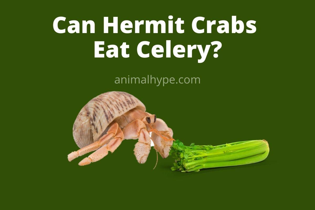 Can Hermit Crabs Eat Celery
