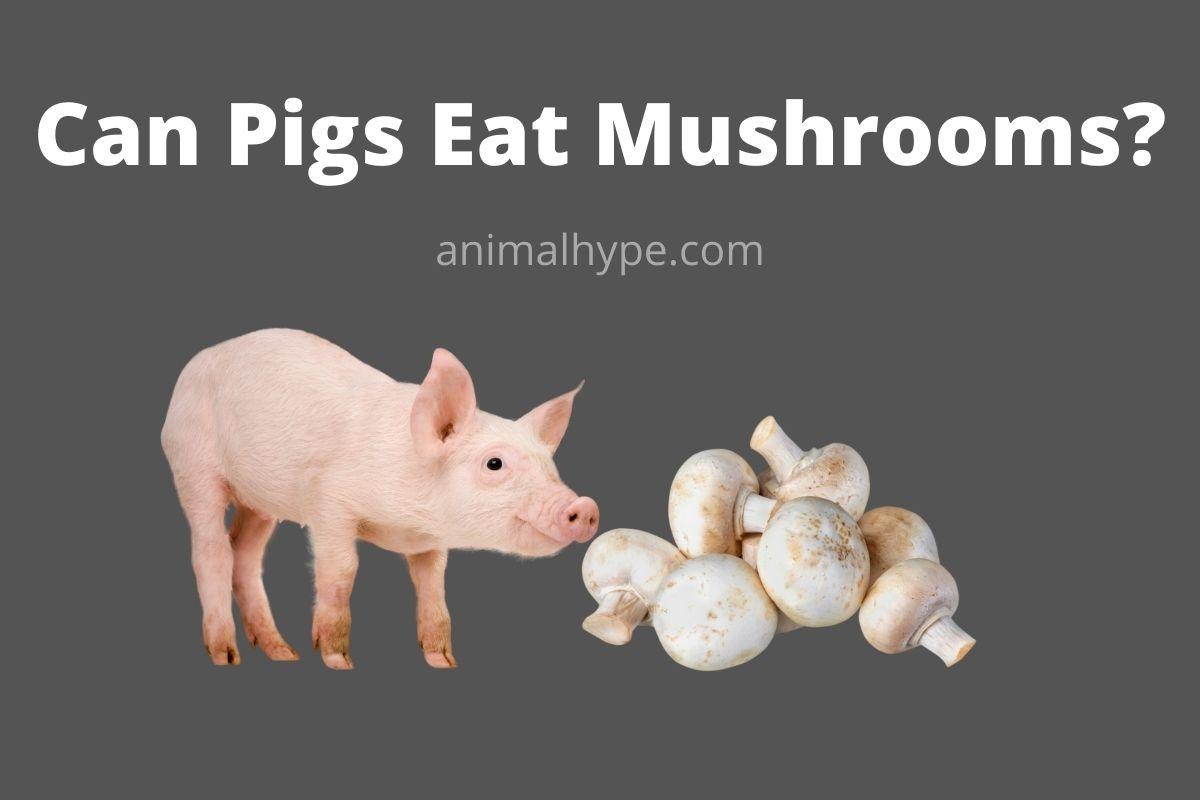 Can Pigs Eat Mushrooms