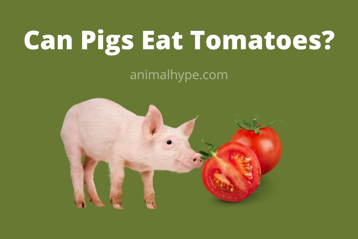 Can Pigs Eat Tomatoes