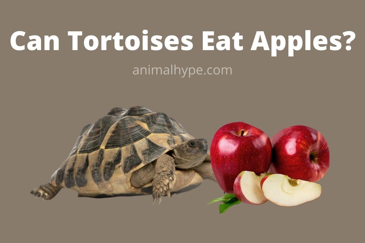 Can Tortoises Eat Apples