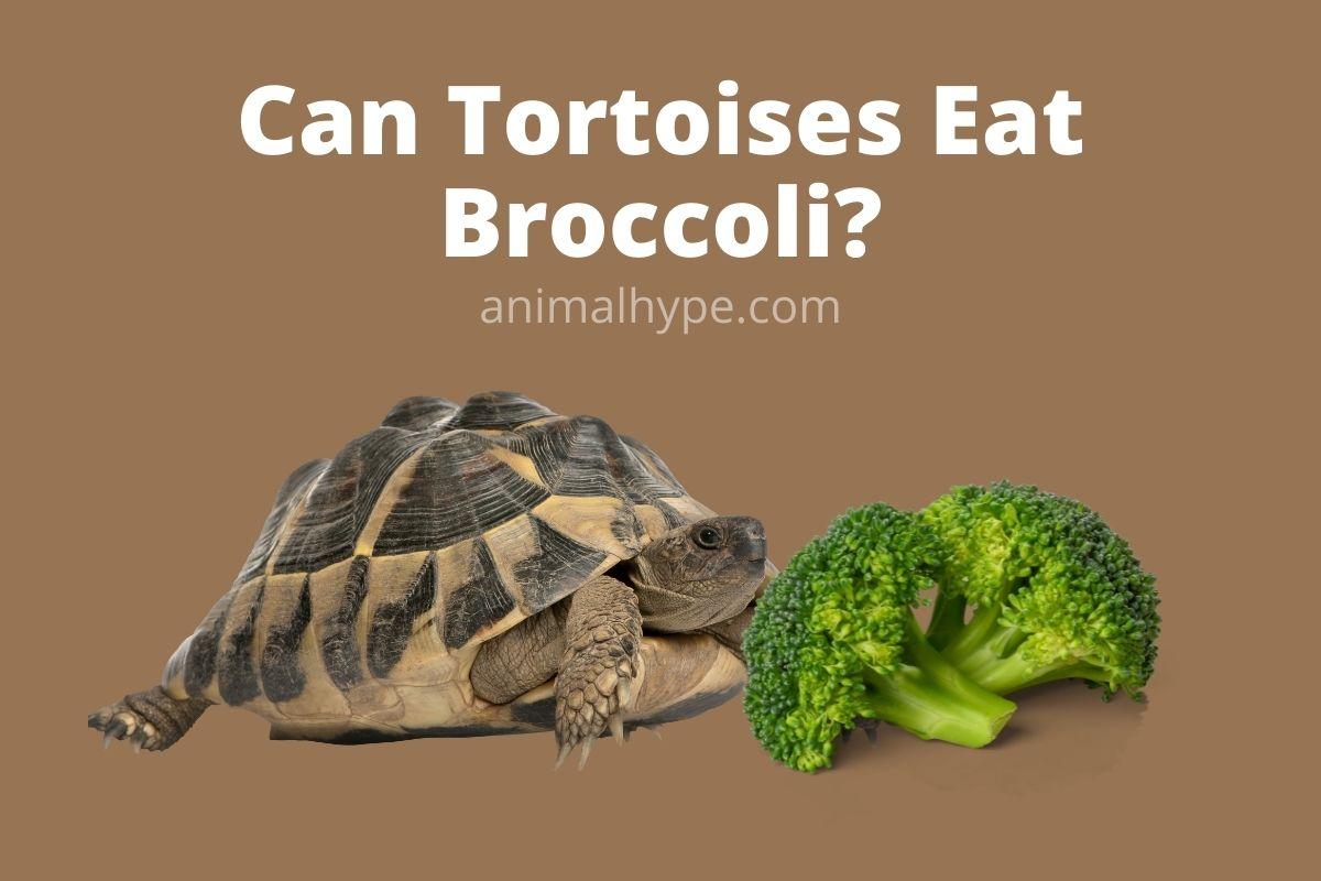 Can Tortoises Eat Broccoli