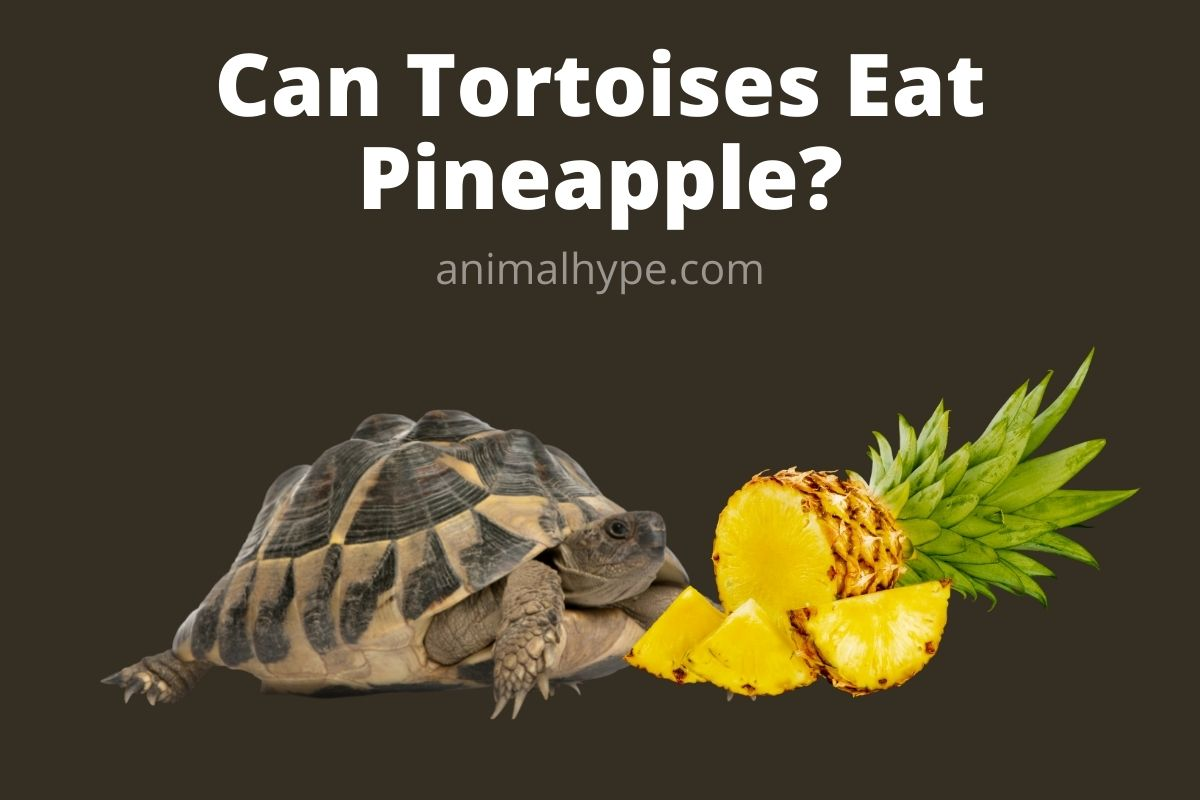 Can Tortoises Eat Pineapple