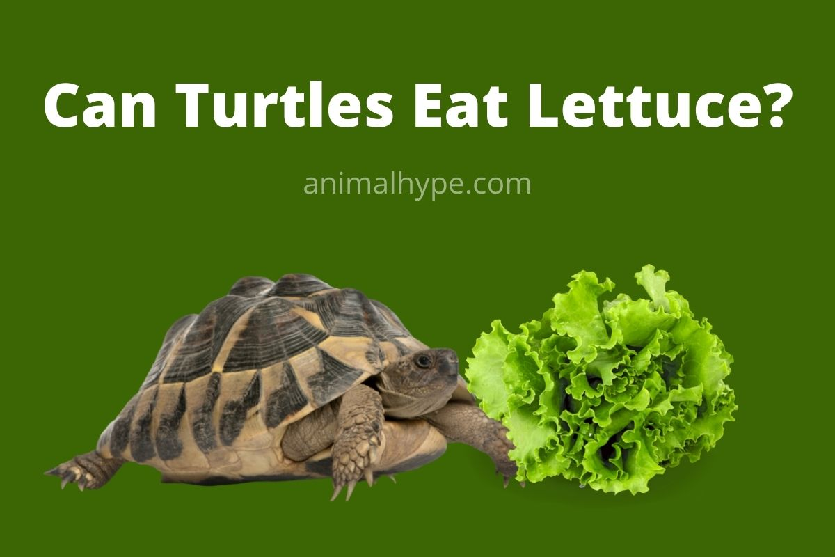 Can Turtles Eat Lettuce
