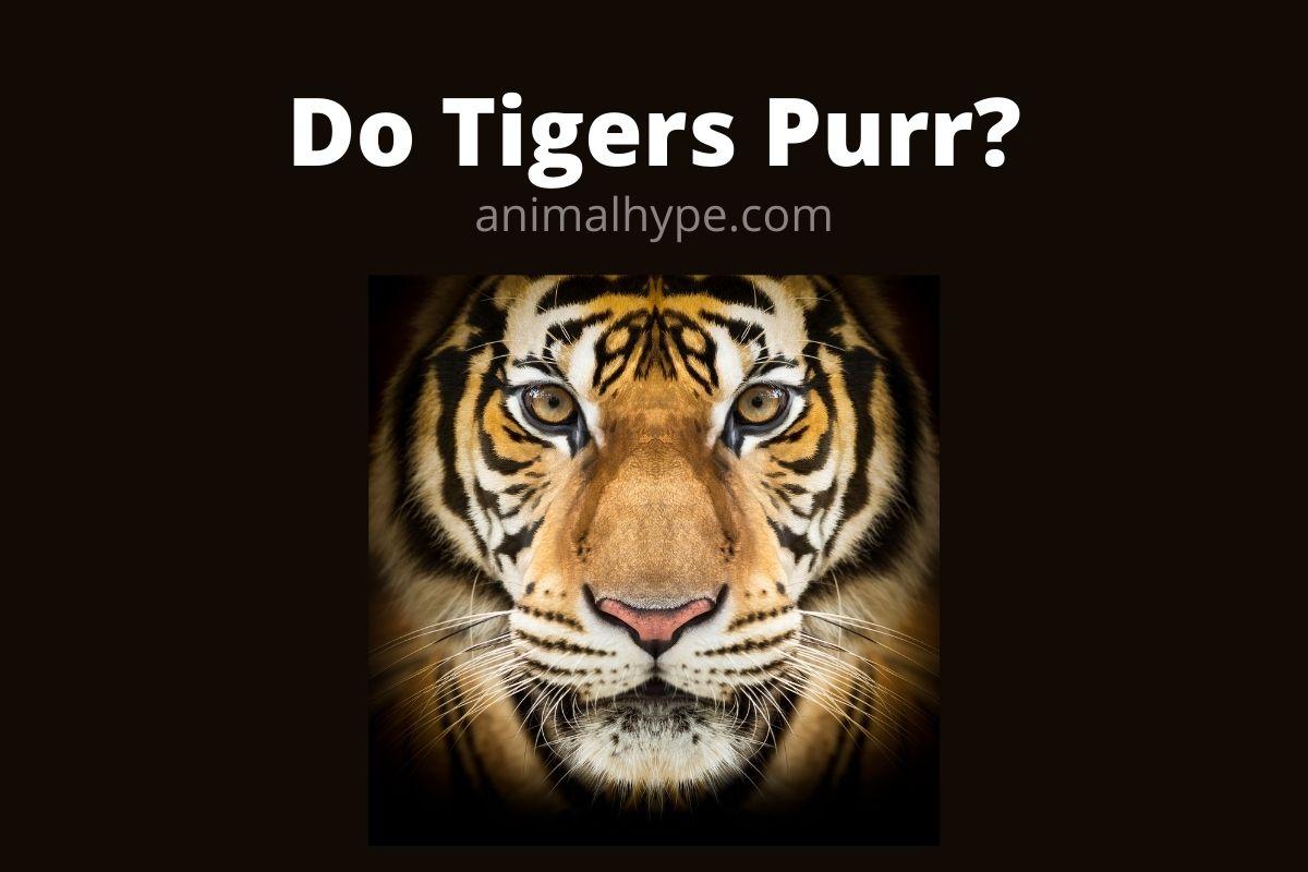 Do Tigers Purr