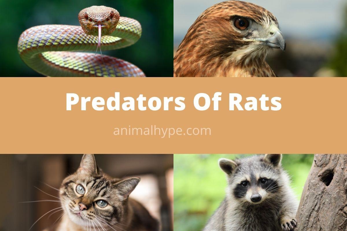 Predators Of Rats