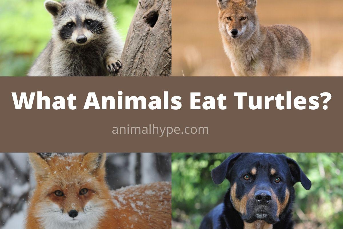 What Animals Eat Turtles