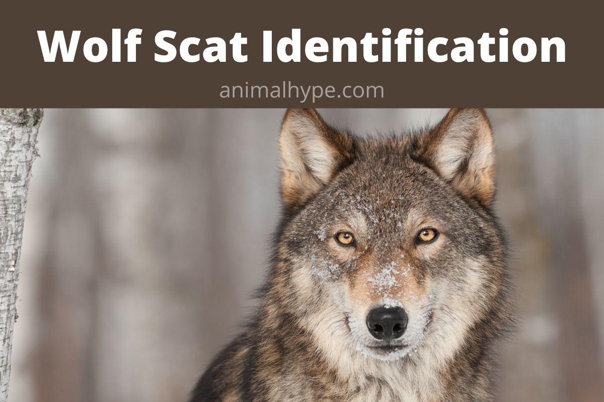 Wolf Scat Identification