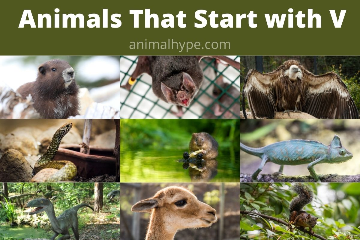 Animals that Start with V