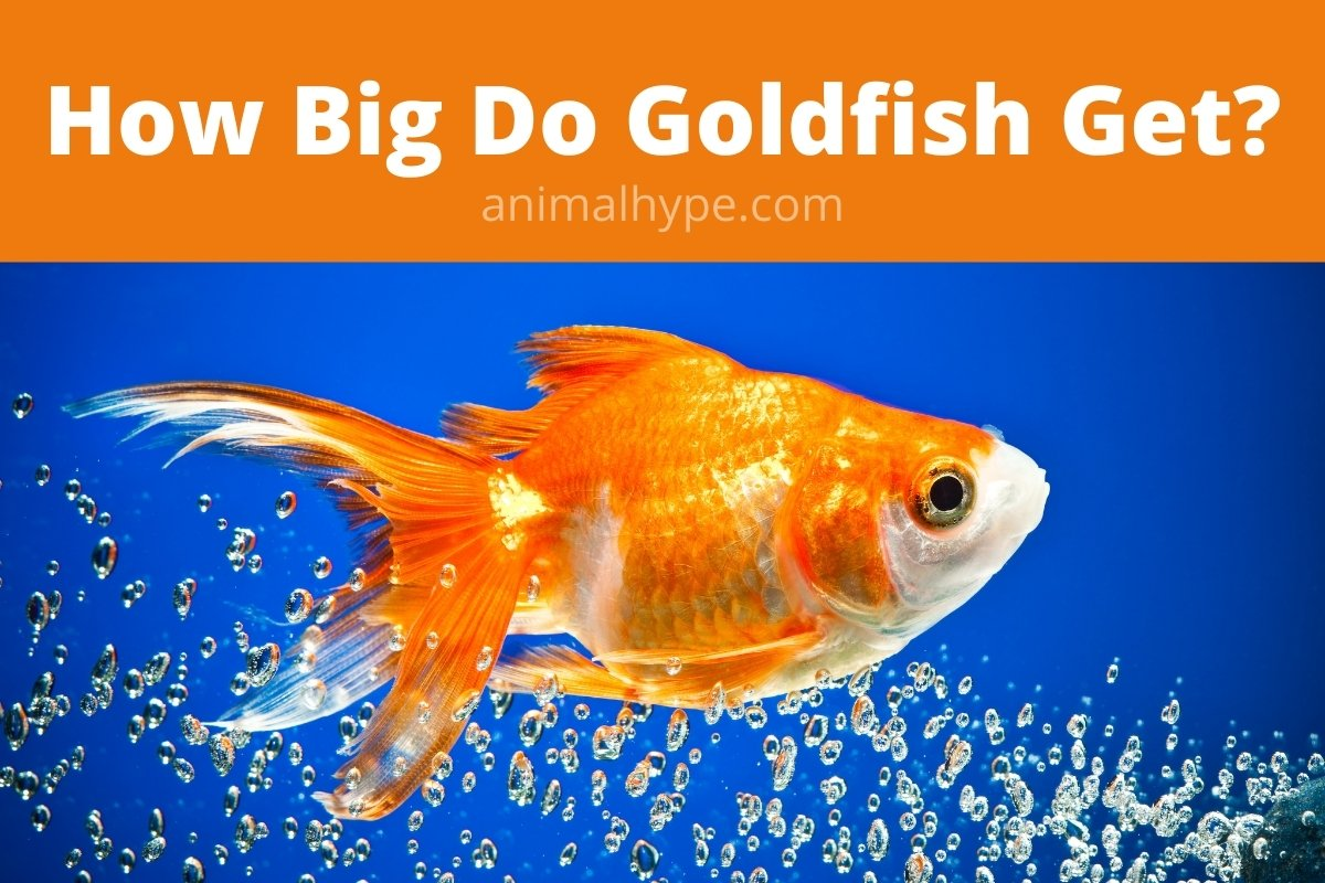 How Big Do Goldfish Get